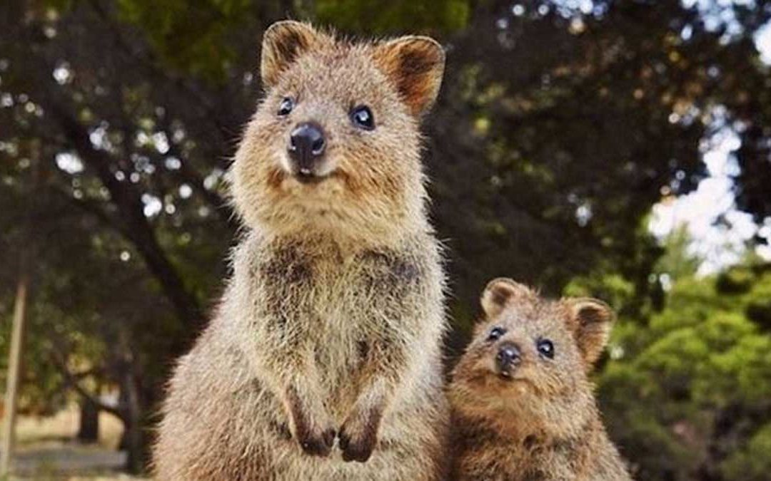 Meet the Quokkas